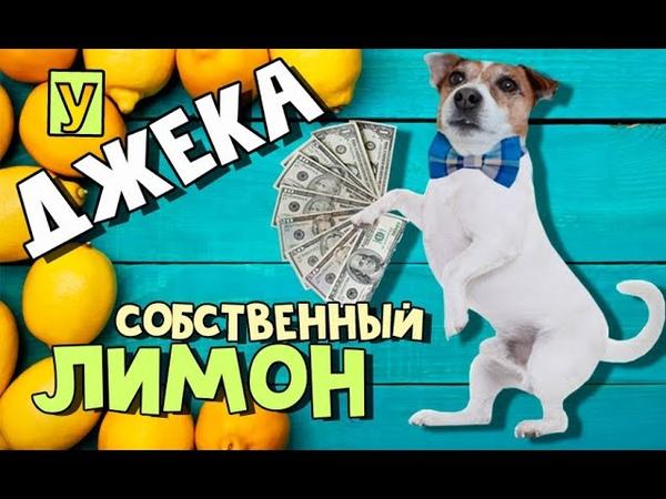 Лимон для весёлой собаки Какой лимон выберет Джек рассел терьер🍋🐶🍋