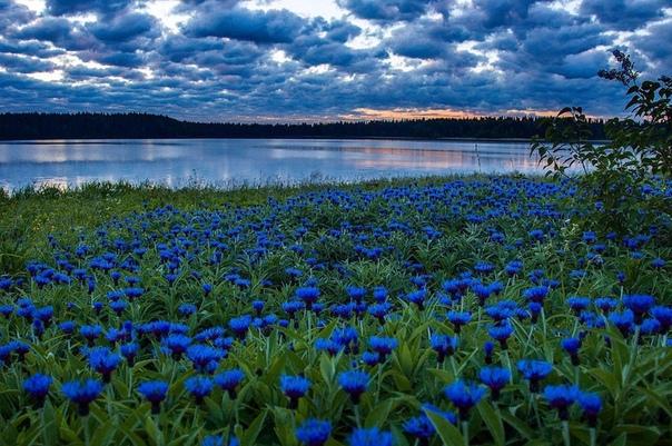 Васильковое поле! Красотища! (источник: gofazenda)