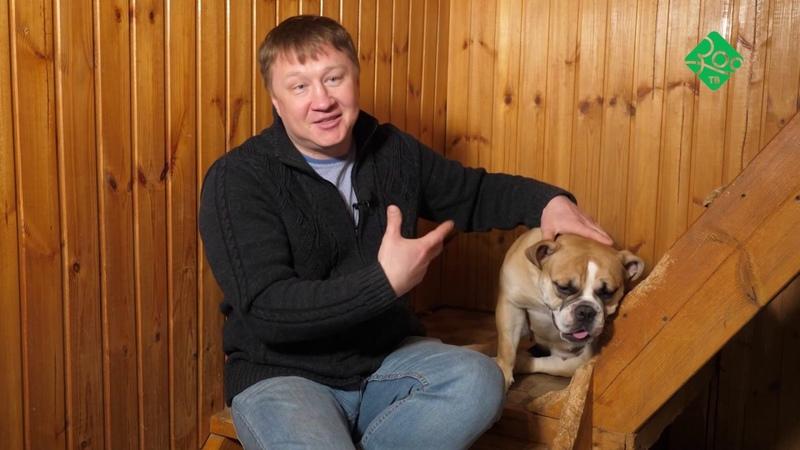 ЗооТВ Ярмарка тщеславия Староанглийские бульдоги в России