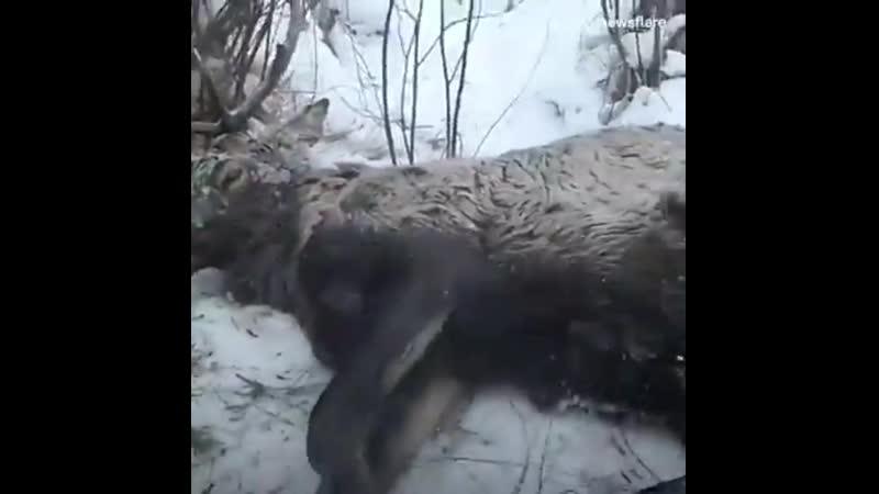 Спасение оленя Работа не Волк