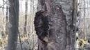 Березовый гриб Чага мои рекомендации, примеры